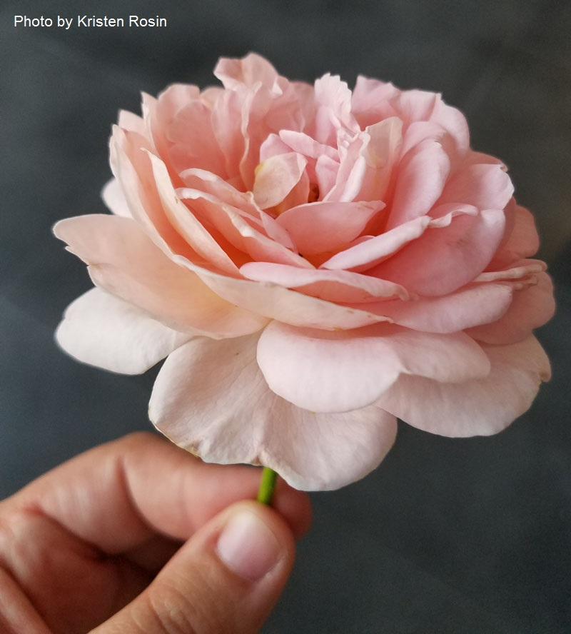 Abraham Darby rose Central Texas Gardener