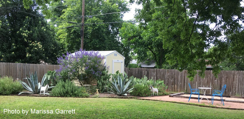Agaves healthy after shading Central Texas Gardener