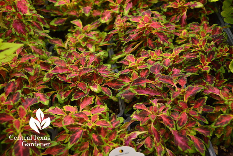 Black Cherry coleus Central Texas Gardener