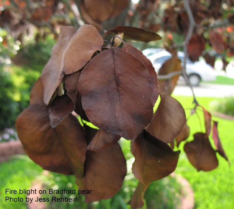 Fireblight Bradford pear Central Texas Gardener