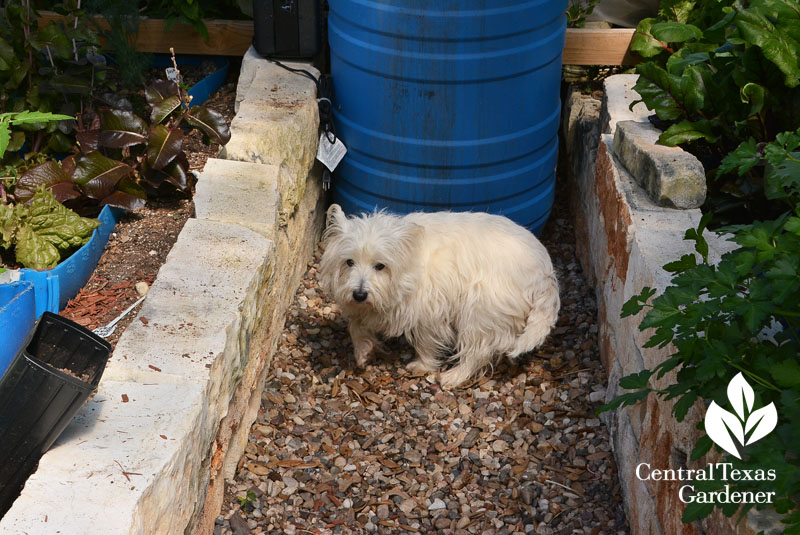 Molly westie with compost tea brew Central Texas Gardener