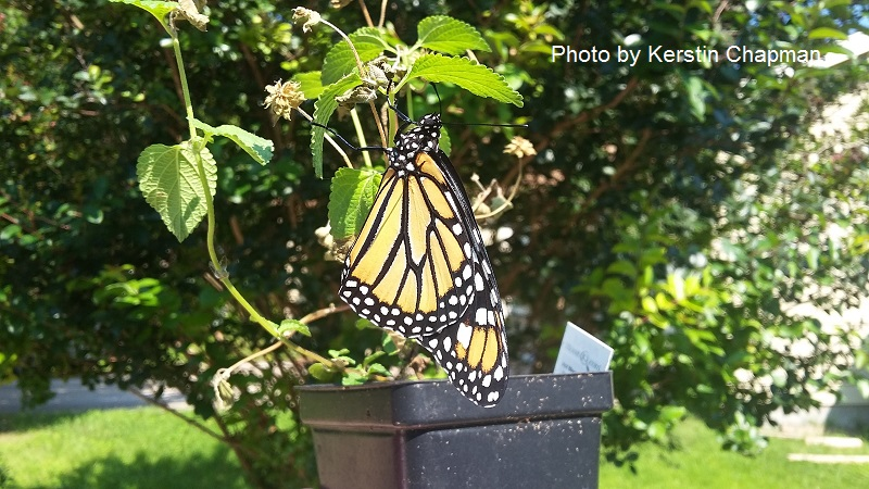 Monarch butterfly on Gregg's mistflower Central Texas Gardener