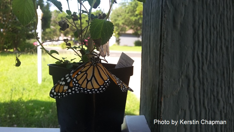 Monarch butterfly on trailing lantana Central Texas Gardener