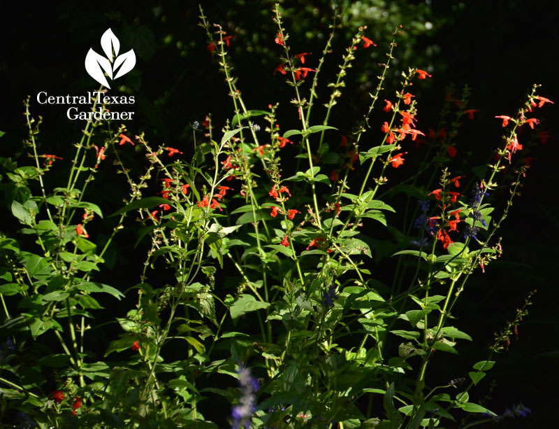 Red Salvia coccinea Central Texas Gardener