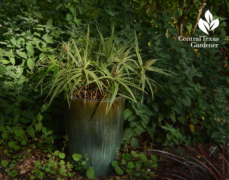 Sparkler sedge in container Central Texas Gardener