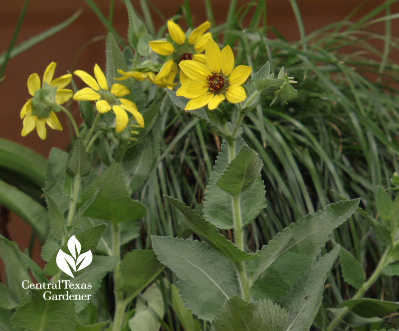 Texas greeneyes native plant Central Texas Gardener