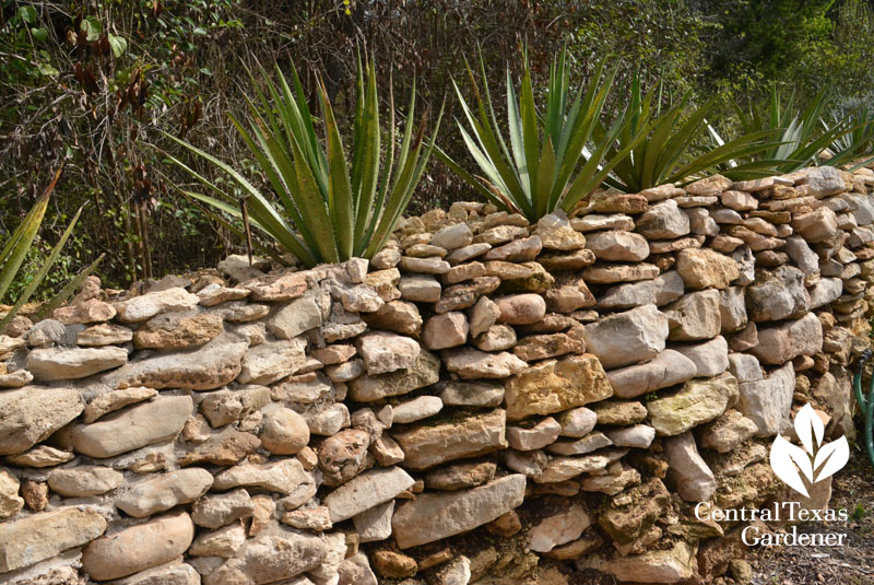 dry stack wall agaves on top Central Texas Gardener