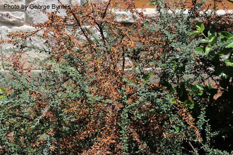 fire blight cotoneaster Central Texas Gardener
