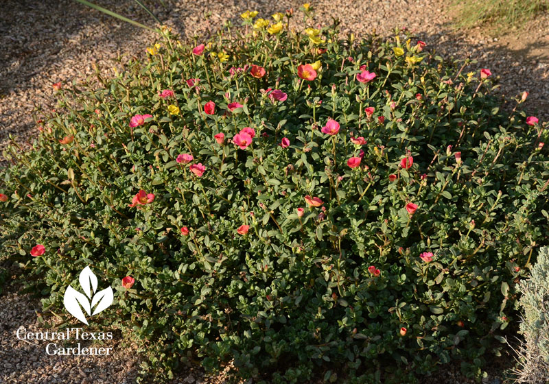 purslane portulaca Central Texas Gardener