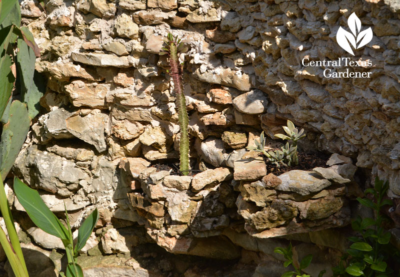 succulents in rock wall niches Central Texas Gardener