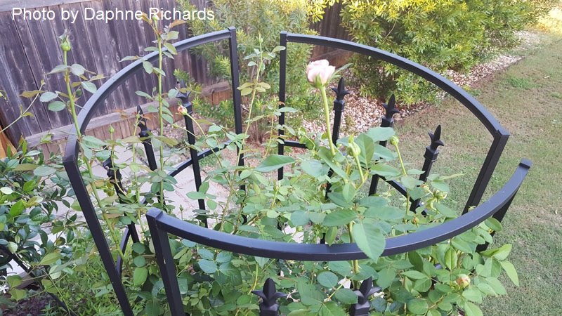 trellises into obelisk shrub rose Central Texas Gardener