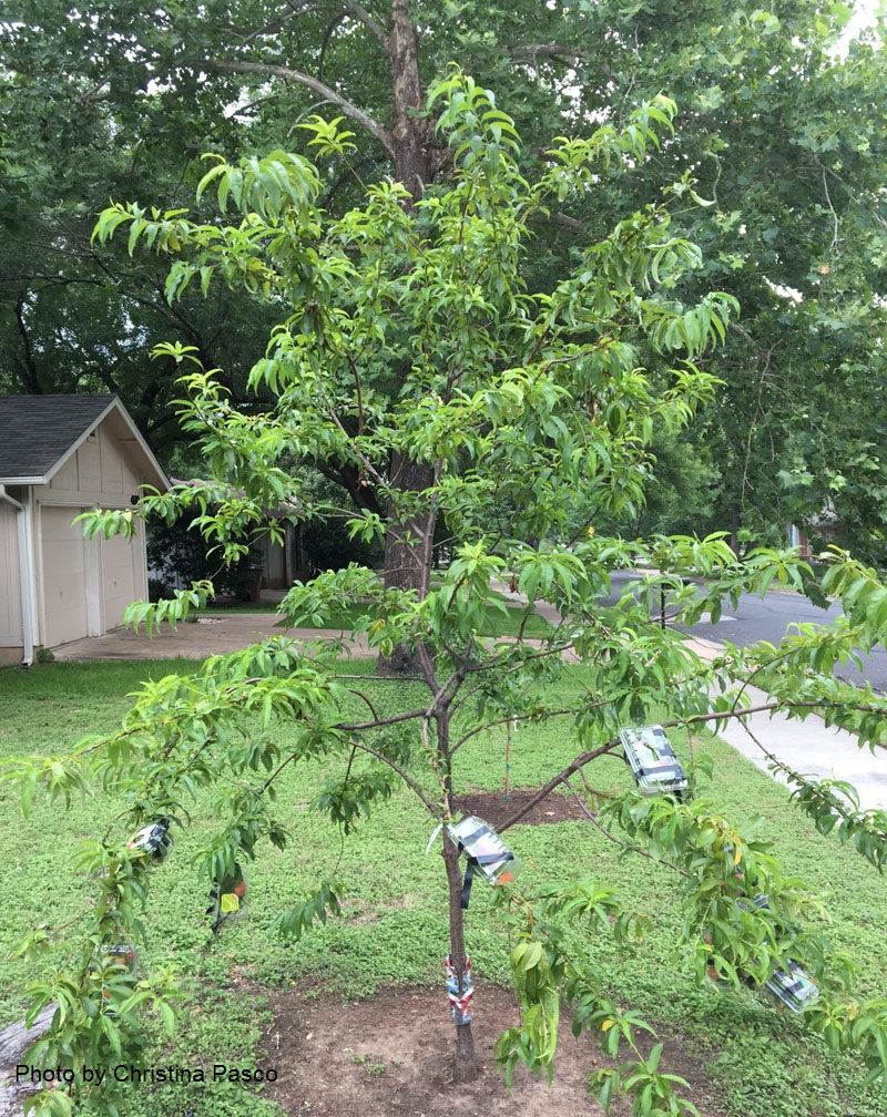 two year old peach tree with baskets protect from critters Central Texas Gardener