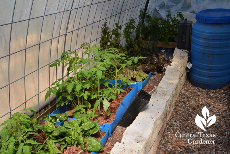 wicking bed 55 gallon drums Central Texas Gardener