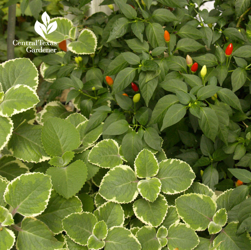 variegated Cuban oregano and patio peppers, Central Texas Gardener