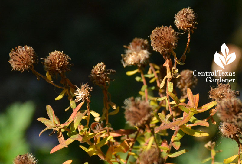 aster seed heads Central Texas Gardener