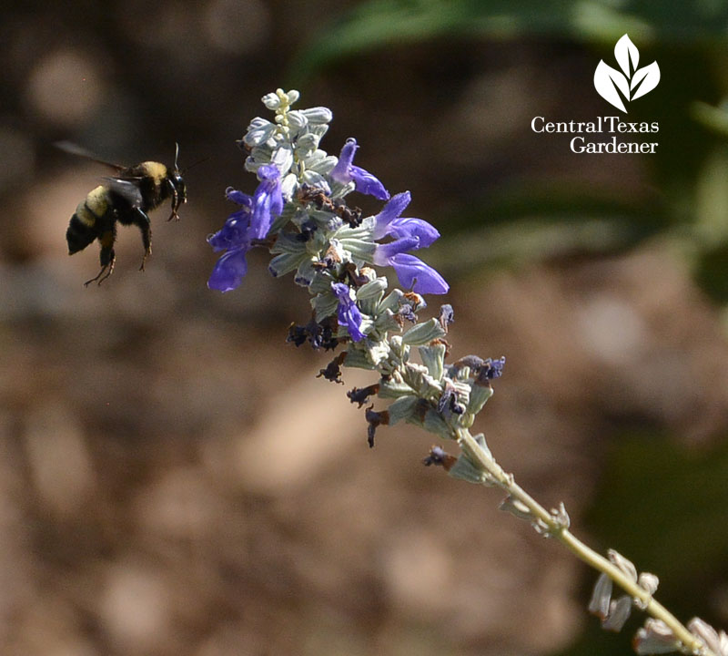 bee salvia farinacea Central Texas Gardener