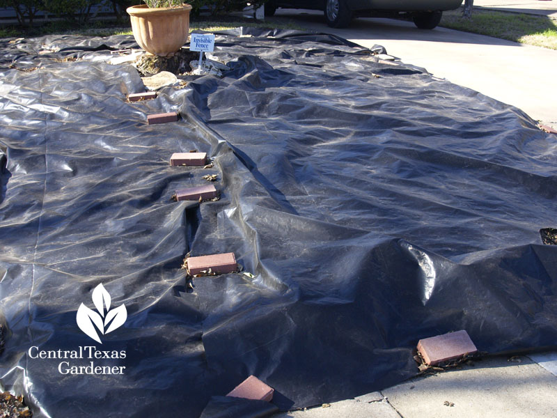 solarize lawn with black tarp Central Texas Gardener