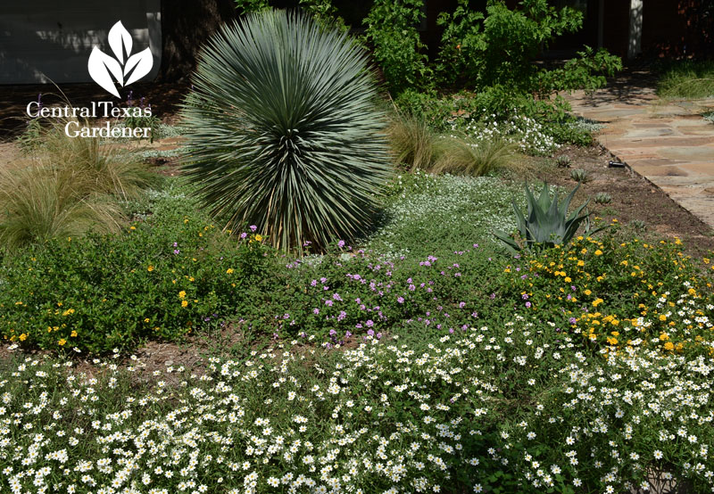 no lawn front yard four-nerve daisy, silver ponyfoot, yucca, blackfoot daisy Central Texas Gardener