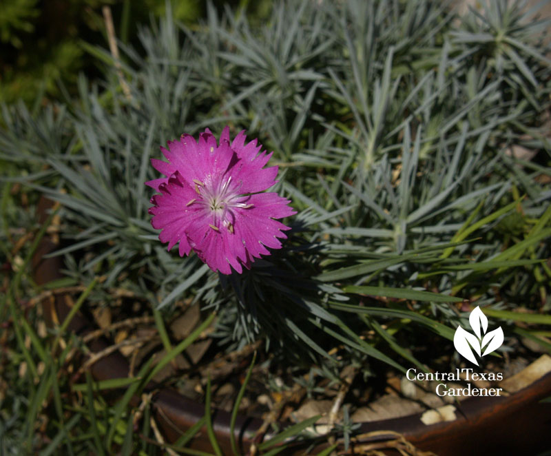 why dianthus rot Central Texas Gardener