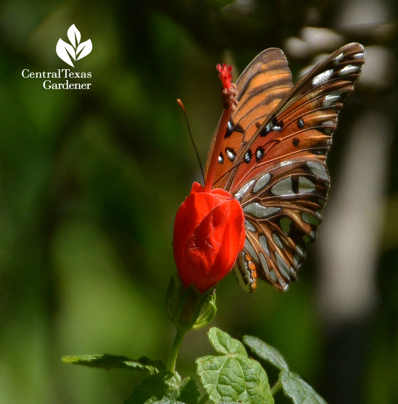 Gulf Fritillary on turk's cap Central Texas Gardener
