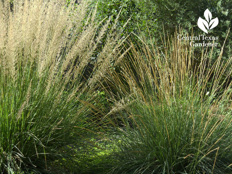 Lindheimer and Deer muhly Central Texas Gardener