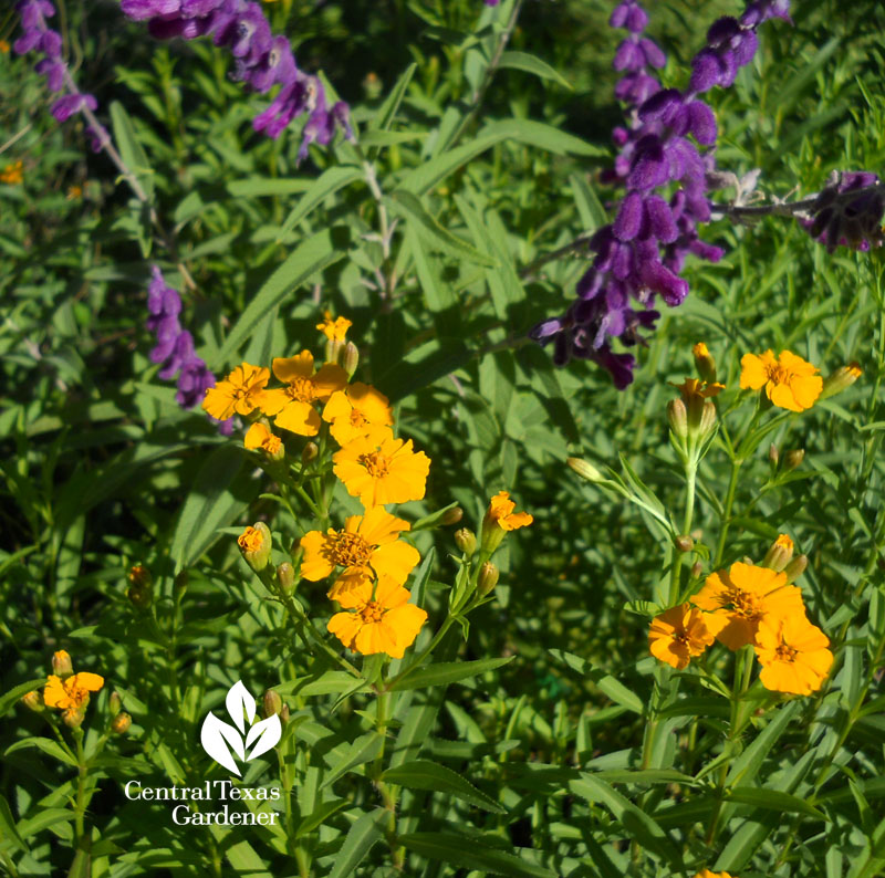 Mexican mint marigold and Salvia leucantha Central Texas Gardener