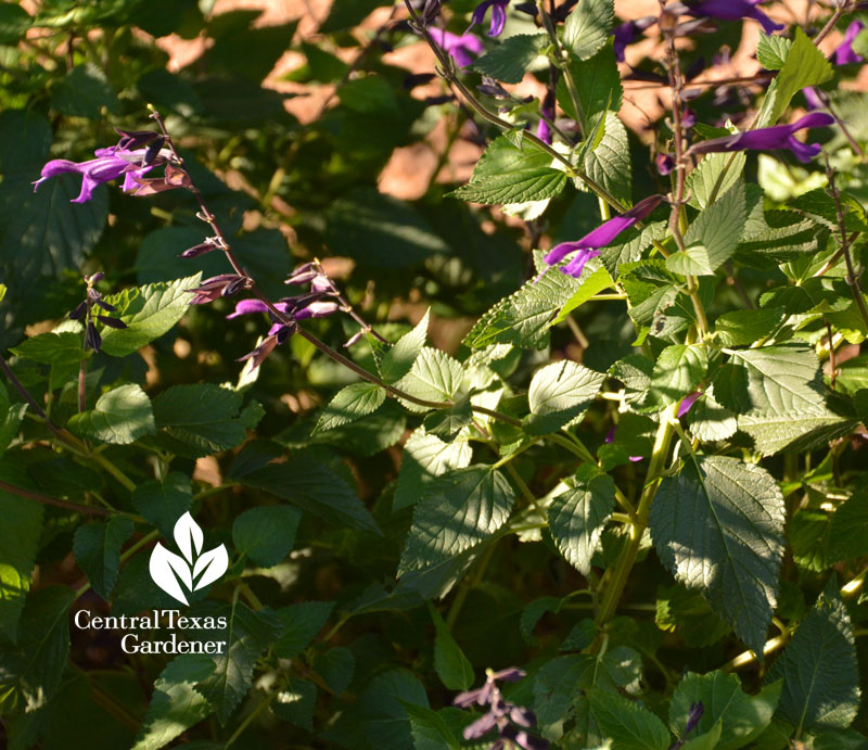 Salvia 'Amistad' Central Texas Gardener