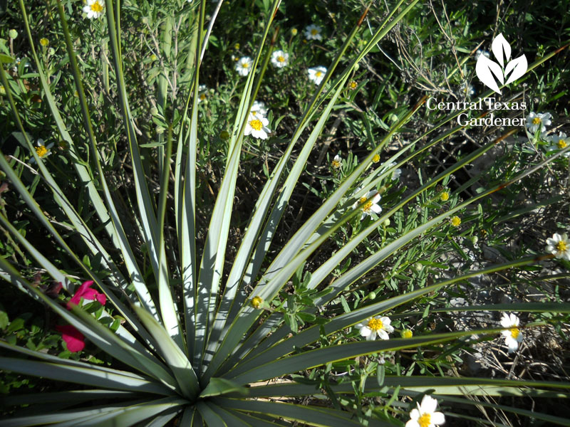 Yucca pallida and blackfoot daisy Central Texas Gardener