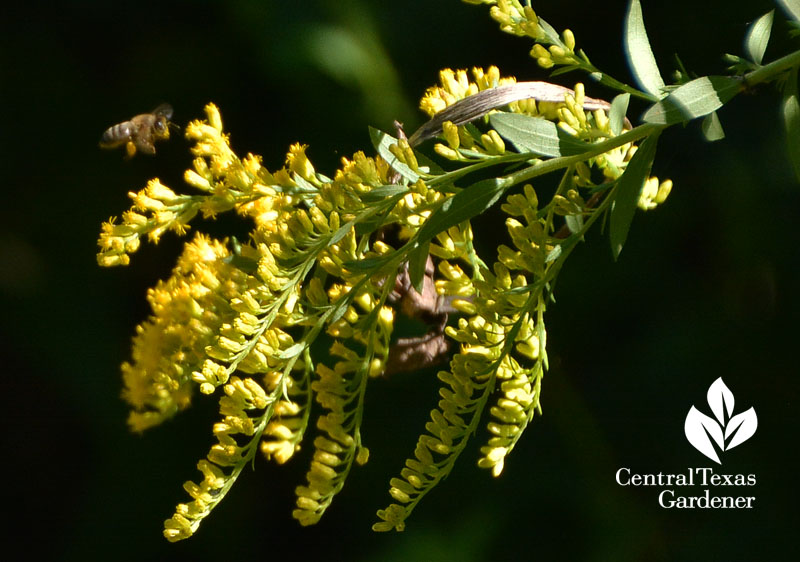 bee on goldenrod Central Texas Gardener