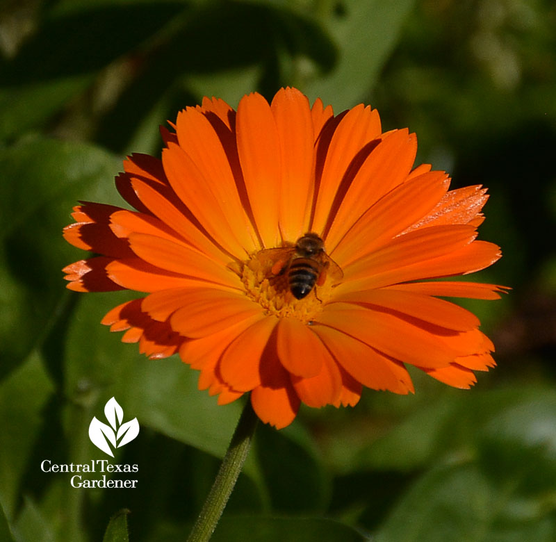 bee on winter annual calendula Central Texas Gardener