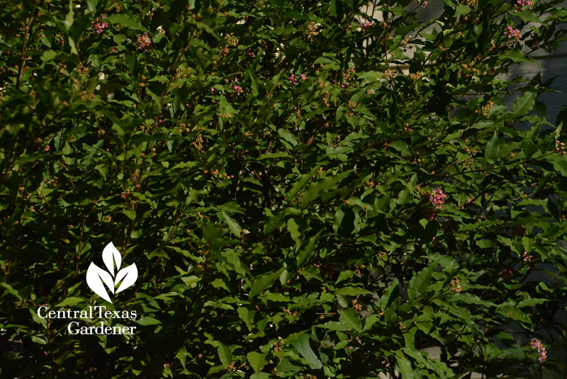 native Barbados cherry Central Texas Gardener