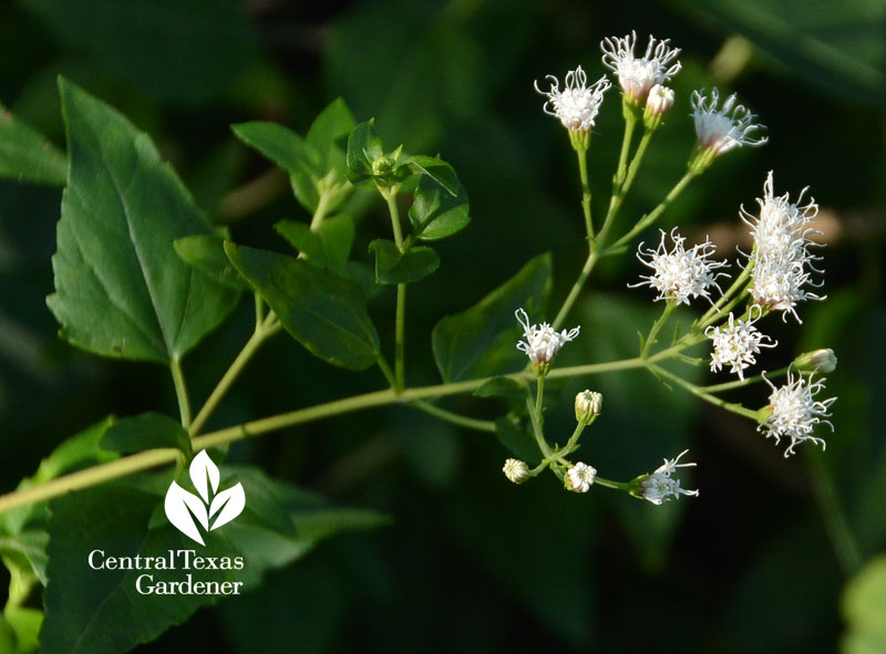 native white mistflower, shrubby boneset Central Texas Gardener