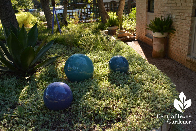 wooly stemodia blue ornamental balls raised bed Central Texas Gardener