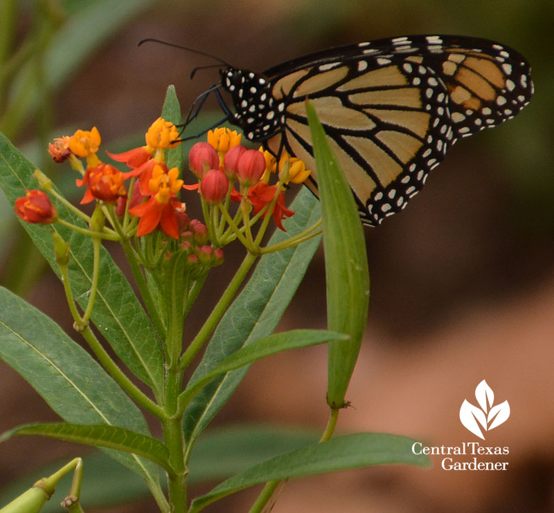 Monarch butterfly tropical milkweed Central Texas Gardener