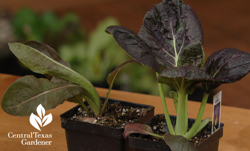 Pak choi transplants Central Texas Gardener