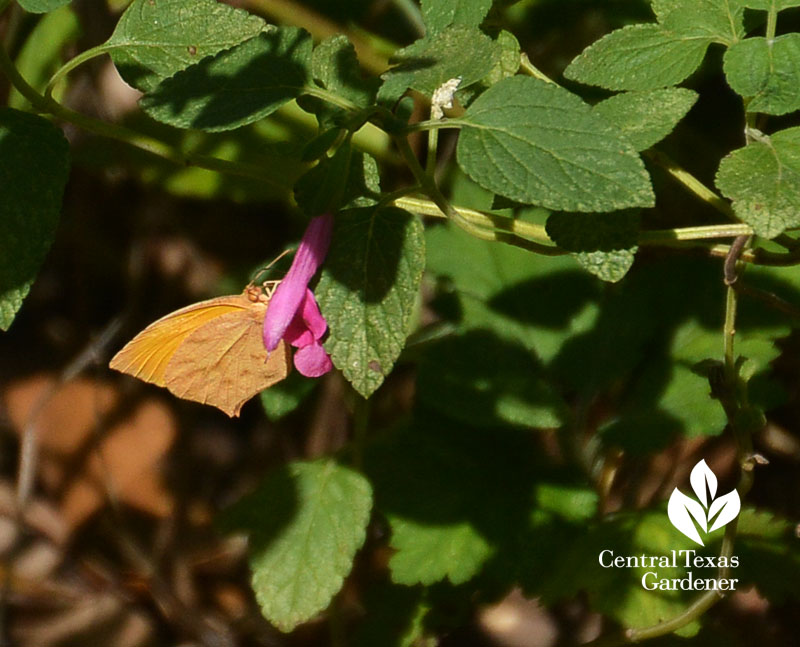 Tailed Orange butterfly on La Trinidad Pink microphylla Central Texas Gardener