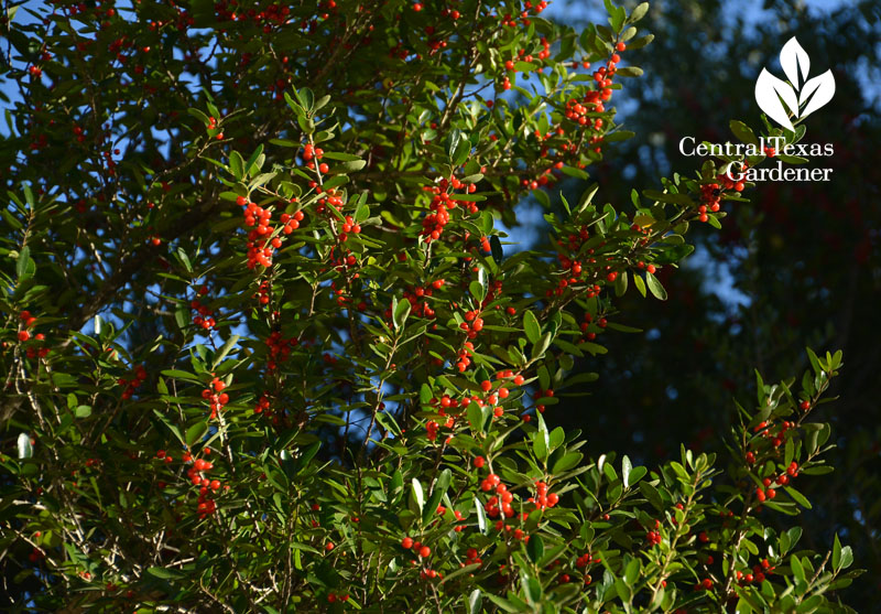 Yaupon holly berries Central Texas Gardener