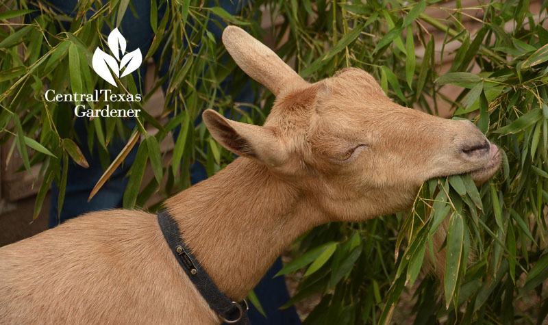 goat eating bamboo Central Texas Gardener