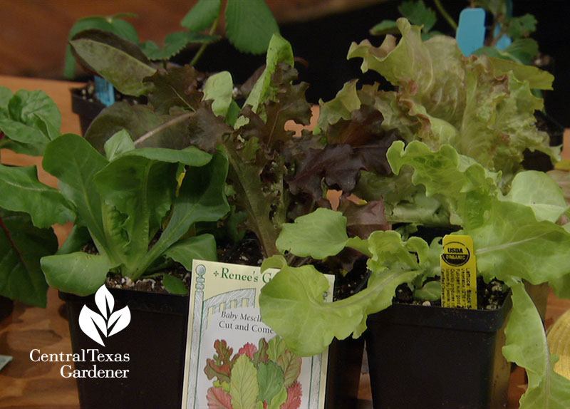 lettuce transplants and seeds Central Texas Gardener