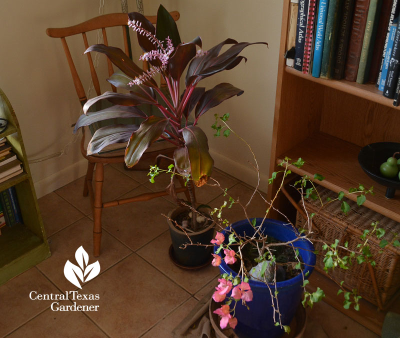 hawaiian ti cordyline and bougainvillea overwinter in house Central Texas Gardener
