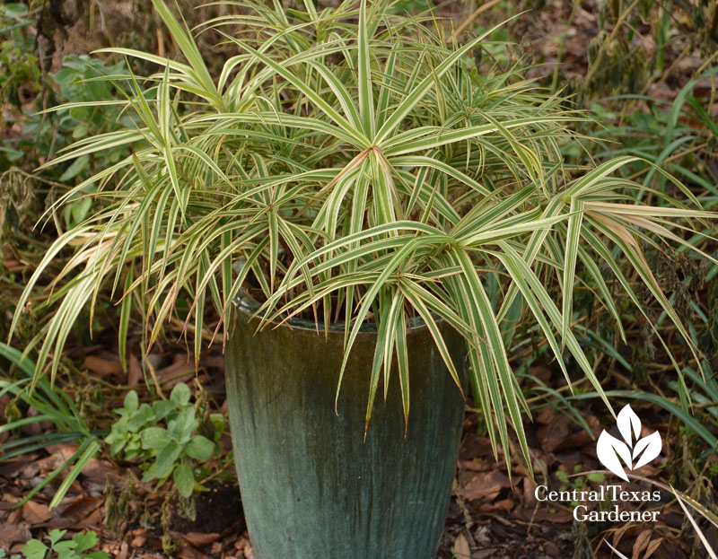 Sparkler sedge container Central Texas Gardener