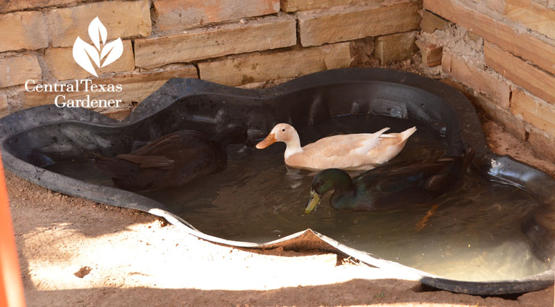 little duck swimming pool Central Texas Gardener