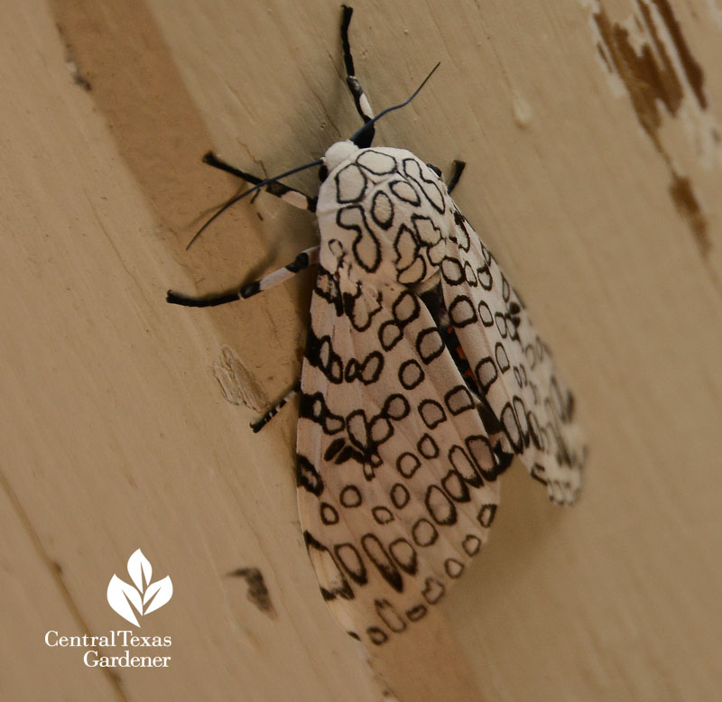 Giant Leopard moth Central Texas Gardener