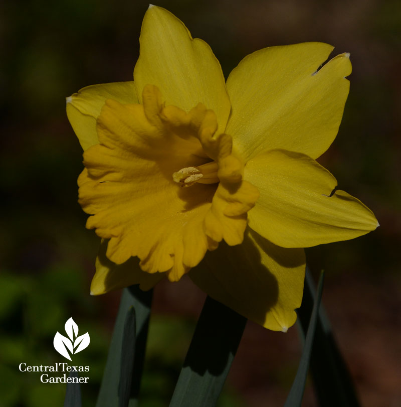 Narcissus Marieke open flower Central Texas Gardener
