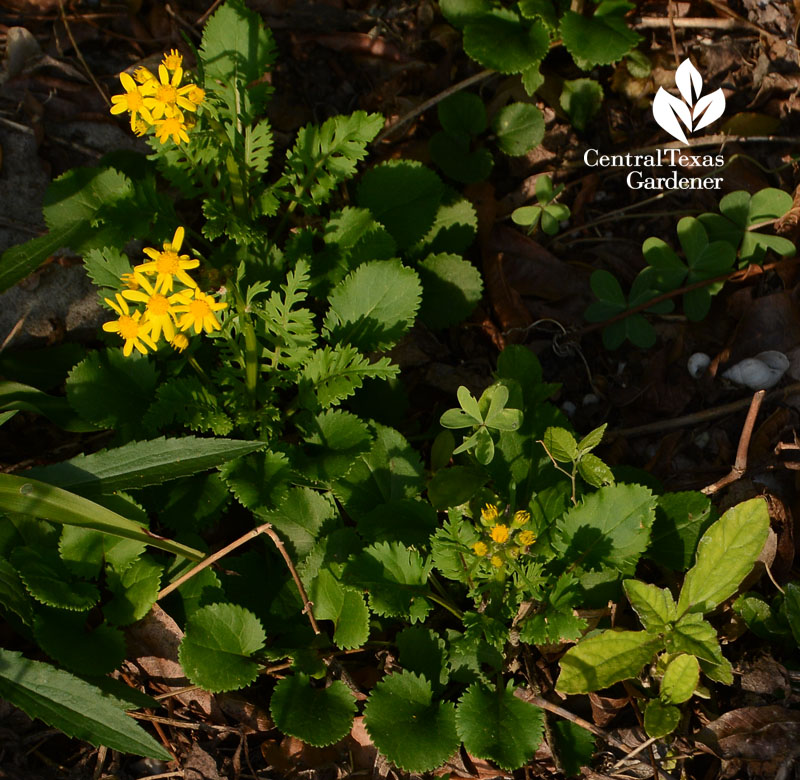 Packera obovata golden groundsel Central Texas Gardener