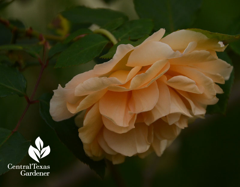 Rose Buff Beauty Central Texas Gardener