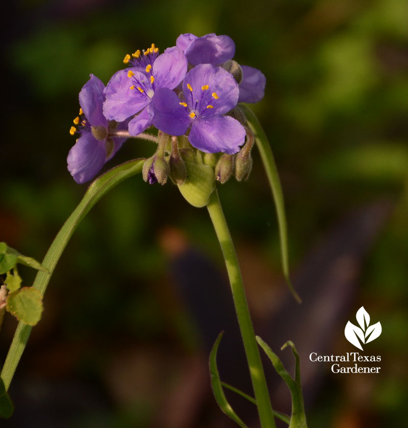 Spiderwort gigantea Central Texas Gardener