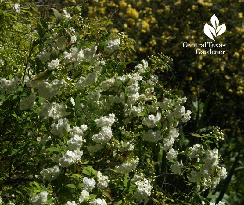 Moonlit flowers dwarf goats chickens central texas gardener spiraea against lady banks rose central texas gardener mightylinksfo