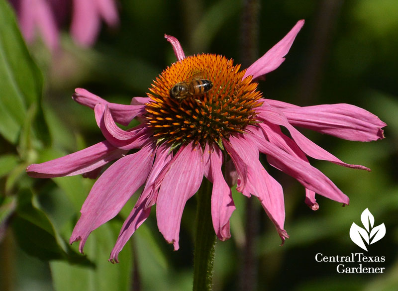 bee-on-native-coneflower-Central-Texas-Gardener1