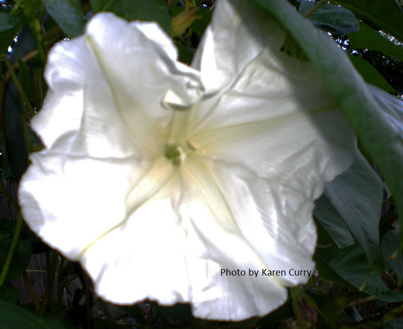 annual moonflower picture by Karen Curry